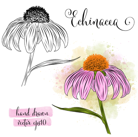 botanical art watercolor echinacea flower, vector format Illustration