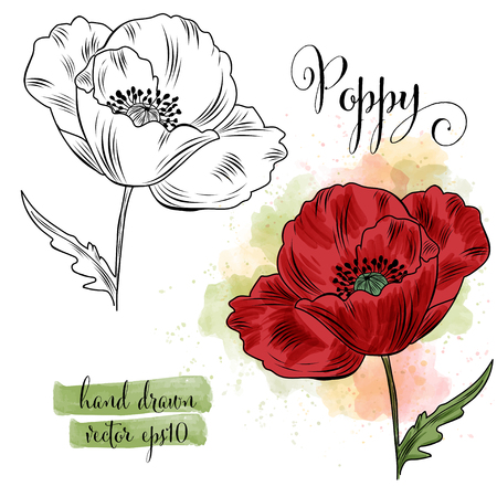 botanical art watercolor poppy flower, vector format
