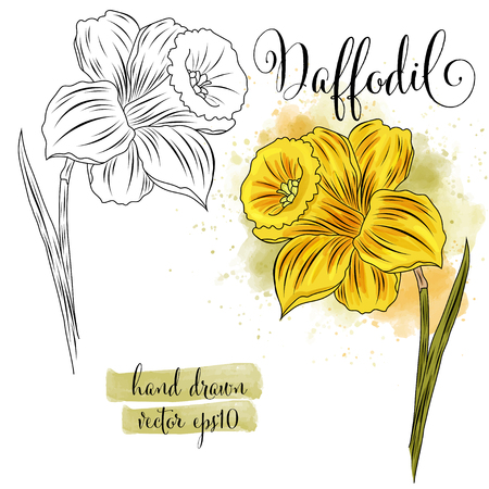 botanical art watercolor daffodil flower, vector format Illustration