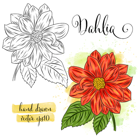 botanical art watercolor dahlia flower, vector format Illustration