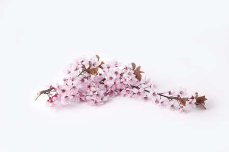 Cherry flowers Stock Photo - 8054480