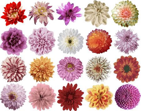 flowers close up: Dahlia vectors Illustration