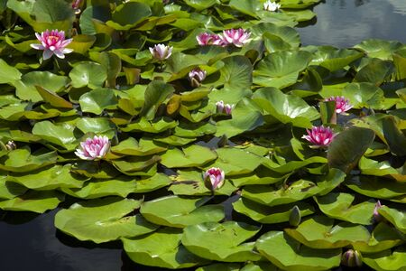 waterlily Stock Photo - 8126452
