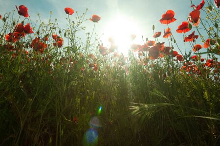 Poppy flowers against the blue sky. Flower meadow in springtime. Nature composition. Stock Photo - 15223356