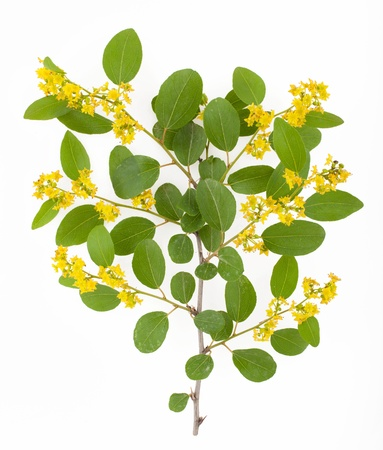 bushy plant: Branch of bushy plant with yellow flowers and small oval leaves isolated on white background Stock Photo