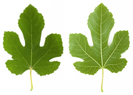 Both sides of a fig tree leaf isolated on white background photo