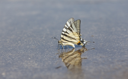 partake: Butterflies often congregate on wet surface to partake in puddling, drinking water and extracting minerals from damp puddles.