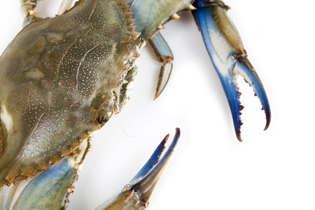 garra: Cangrejo azul sobre fondo blanco Foto de archivo