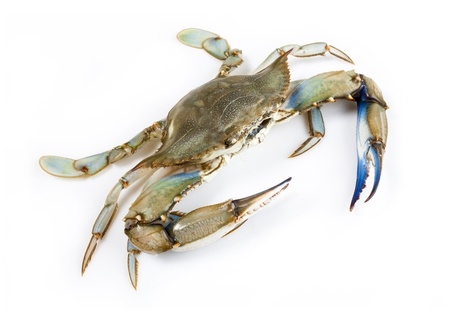 Blue crab on white background photo