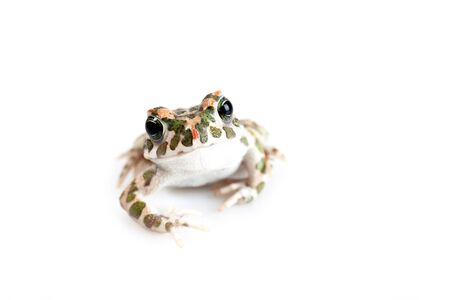 European Bufo viridis or Pseudepidalea virdis isolated on white background Stock Photo - 17182820