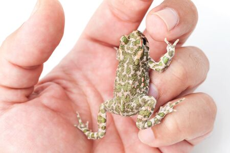 European green toad on a man's hand, close-up shot Stock Photo - 17476865