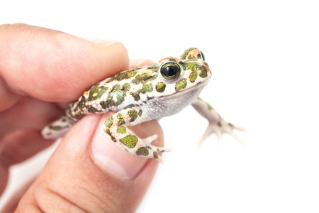 European green toad on a mans hand, close-up shot photo