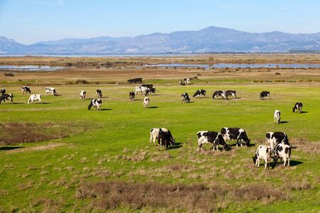 Cows grazing on green meadow in Porto Lagos - Greece Stock Photo - 17990670