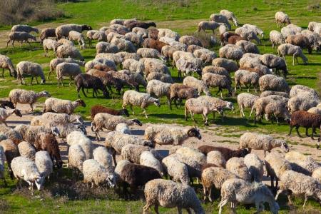 Flock of sheep grazing in Porto Lagos, Greece, Europe Stock Photo - 17990695