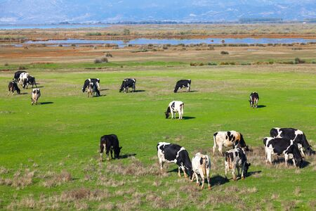 Cows grazing on green meadow in Porto Lagos - Greece Stock Photo - 17990677