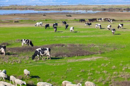 Cows grazing on green meadow in Porto Lagos - Greece Stock Photo - 17990682