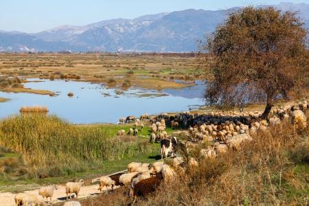 Flock of sheep grazing in Porto Lagos, Greece, Europe Stock Photo - 17990693