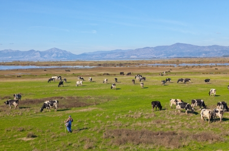 PORTO LAGOS, GREECE-NOV 11: Unidentified herdsman with his herd of cows in the area of Rodopi on Nov 11, 2012 in Porto Lagos, Greece. The lives of these people find it difficult day by day from the crisis Stock Photo - 18112996