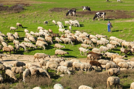 PORTO LAGOS, GREECE-NOV 11: Unidentified shepherd with his herd of sheep in the area of Rodopi on Nov 11, 2012 in Porto Lagos, Greece. The lives of these people find it difficult day by day from the crisis Stock Photo - 18113001