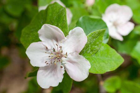 membrillo: Flores de membrillo