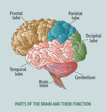 labelled: Structure of the Human Brain.