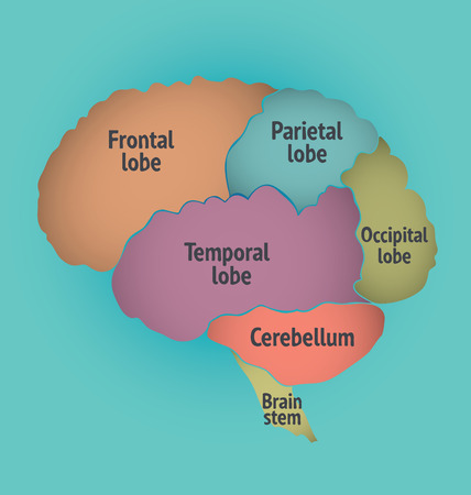 frontal lobe: Structure of the Human Brain.