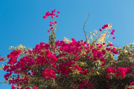 Bougainvillea with beautiful purple flowers in Greece Stok Fotoğraf