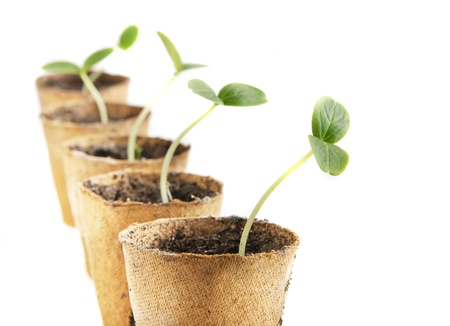 Young fresh seedling stands in peat pots on a white background photo