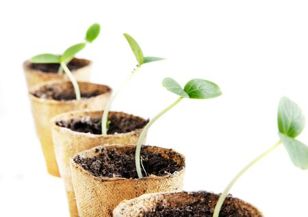 Young fresh seedling stands in peat pots on a white background 免版税图像