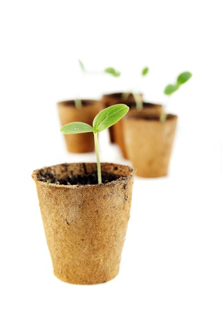 Young fresh seedling stands in peat pots on a white background Standard-Bild