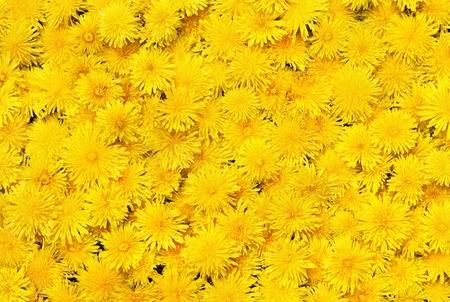 Bright beautiful background of yellow flowers 免版税图像