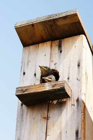 nestling: Nestling looks out from a starling-house