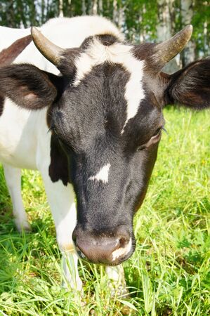 Cow on the meadow photo