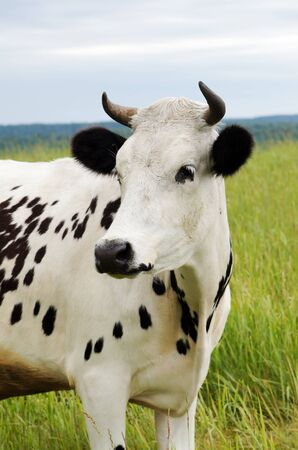 Cow is grazing in the meadow photo