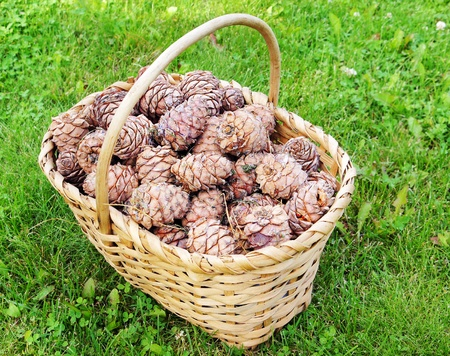 Full basket of cedar cones on the green grass photo