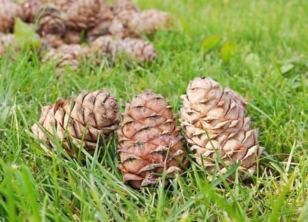 Cedar cones on the green grass photo