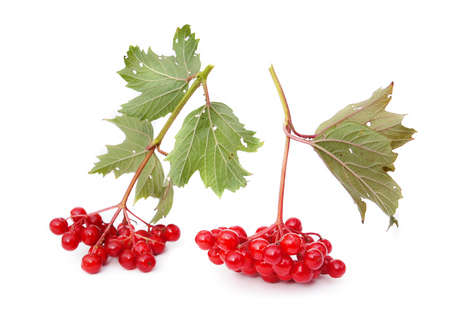 guelderrose: Guelder-rose berries are isolated on a white background