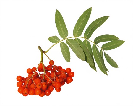 mountain ash: Mountain ash berries are isolated on a white background