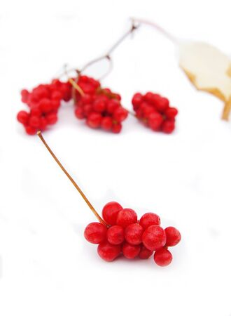 officinal: The berries of Chinese magnolia-vine isolated on white background Stock Photo