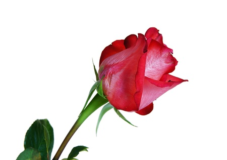 tallo: La rosa roja es aislado en el fondo blanco