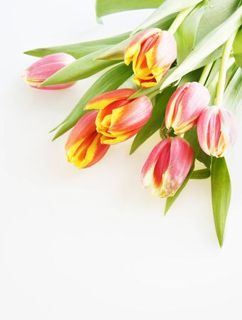 Tulips over the white Stock Photo - 12766077