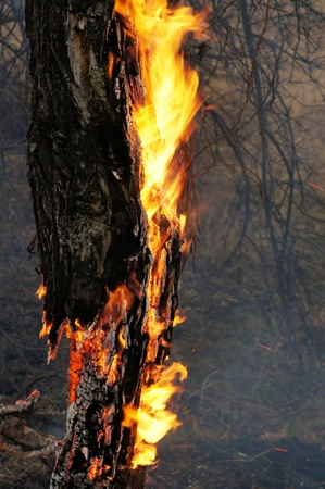 Burning tree in the forest photo