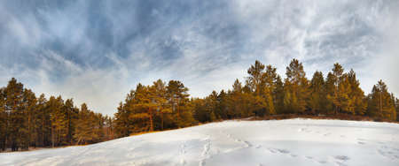 Beautiful panorama of the winter pine forest photo