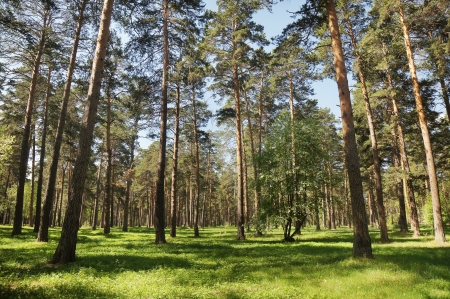 Beautiful summery pine forest