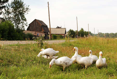 Domestic geese on the village street photo