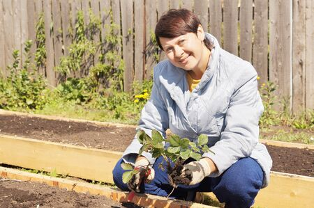 Female gardener is planting strawberries photo