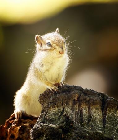 Chipmunk: Chipmunk