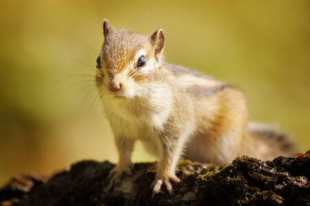 Chipmunk photo
