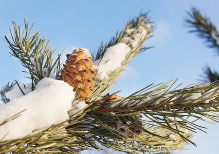 Cedar cone on a snow covered branch photo
