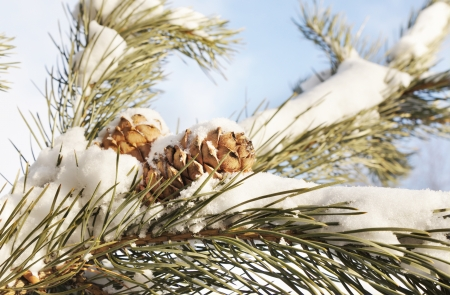 Cedar cones on a snow covered branches photo